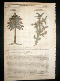Gerards Herbal 1633 Hand Col Botanical Print. Pitch Pine Tree